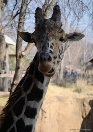 The giraffes are in the exhibit.