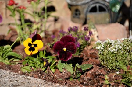 More beautiful pansies, and some sweet alyssum