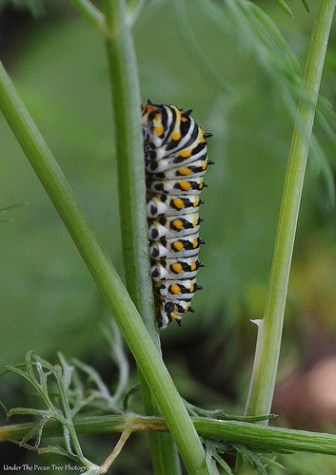 This caterpillar will become a beautiful butterfly by the end of May/early June.