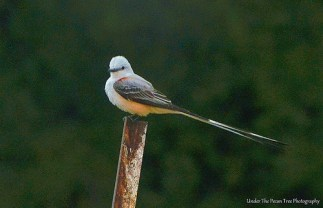 Scissor-tailed Flycatcher II