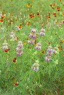 Mexican Hat & Bee Balm