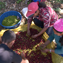 Small coffee farmers sort coffee beans in El Salvador.