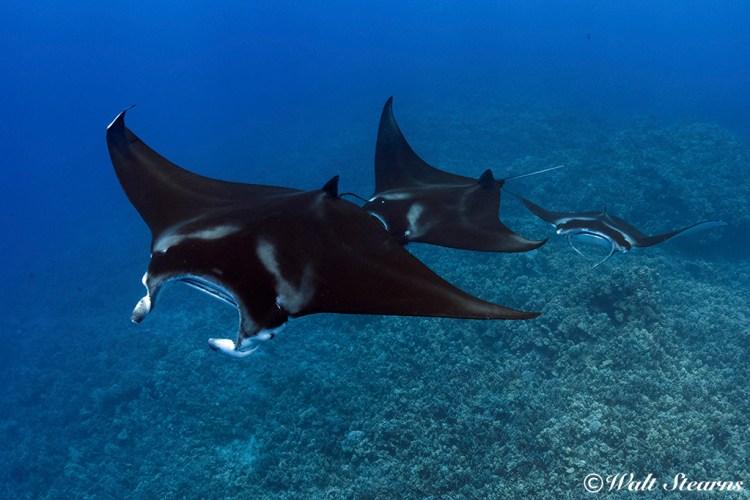 Reef manta ray, (Manta alfredi)
