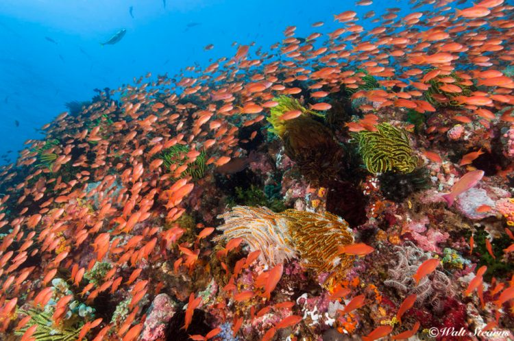 For spectacular reef panoramas Beatrice Rock, adjacent to Sombrero Island is perhaps the best Anilao has to offer. But, be forewarned, the currents that sweep across the submerged reef during the peak of the tide can be very strong.