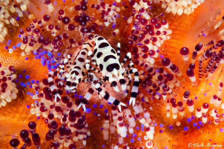 When it comes to finding pairs of Coleman shrimp atop fire urchins, Anilao never seems to disappoint.