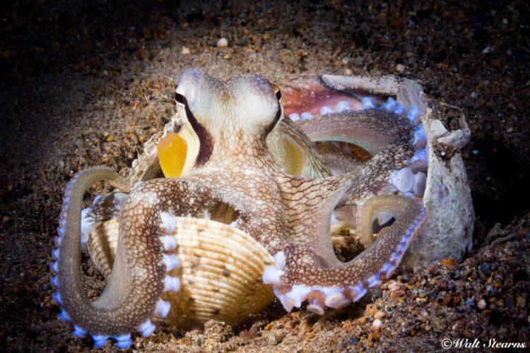 Coconut octopus from Secret Bay