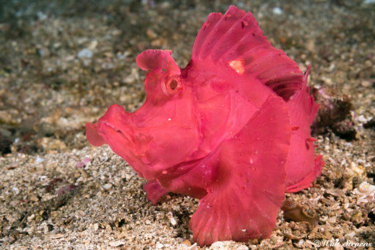 Eschmeyer's scorpionfish - aka paddle-flap (Rhinopias eschmeyeri)