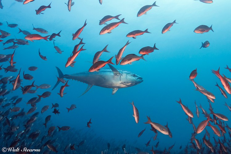 The Galapagos Islands are one of the few dive destinations where there is a good chance of seeing open-water species like this large yellowfin tuna making a pass at a school of creole fish.