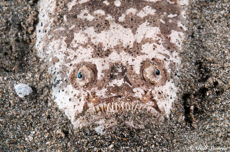 A partially exposed stargazer surrounded by the dark sand bottom it was using as a means of a concealment presents a ghoulish grin.