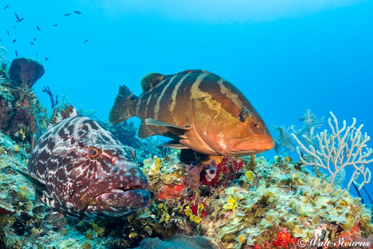 An unlikely pair (a large black grouper with an adult Nassau grouper) would be a very rare sight in this day and age in the rest of the Caribbean, is pretty much commonplace inside Cuba's Jardines de la Reina marine park.