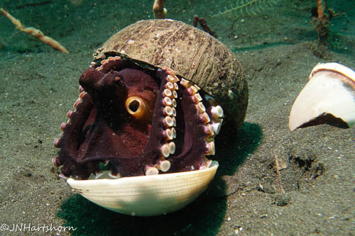 coconut octopus making shelter in shells