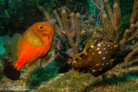 whitespotted filefish orange and white phases