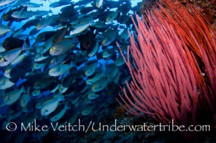Seawhips and Schooling Surgeonfish