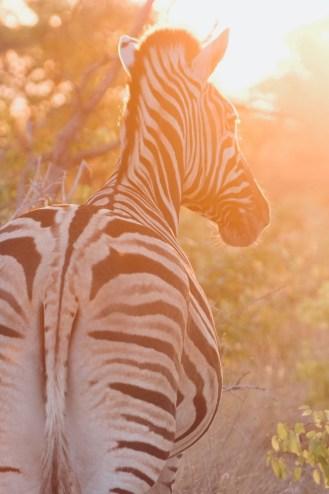 zebre au coucher du soleil dans le parc national d'etosha en namibie