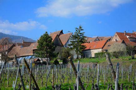 Le vignoble de Mittelbergheim