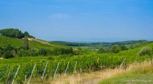 Vignoble Grand Cru du Muenchberg à Nothalten