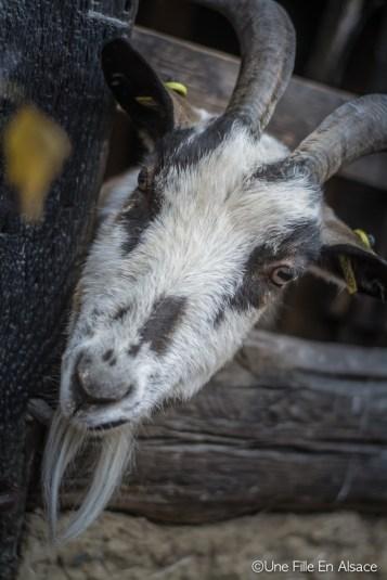 Chèvre Ecomusée d'Alsace - Photo Céline Schnell - Une Fille En Alsace