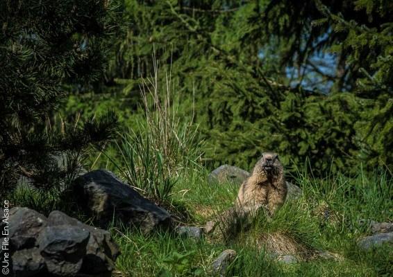 Marmotte au Parc de Sainte Croix - Photo Céline Schnell Une Fille En Alsace