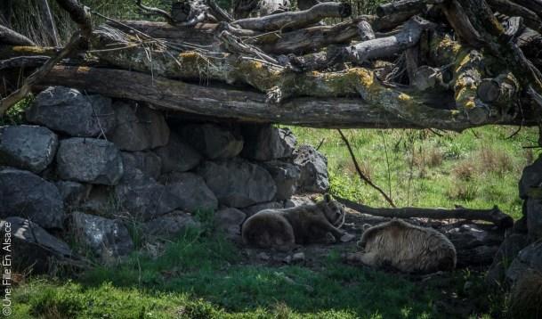 Ours au Parc de Sainte Croix - Photo Céline Schnell Une Fille En Alsace