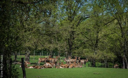 Cerfs et biches au Parc de Sainte Croix - Photo Céline Schnell Une Fille En Alsace