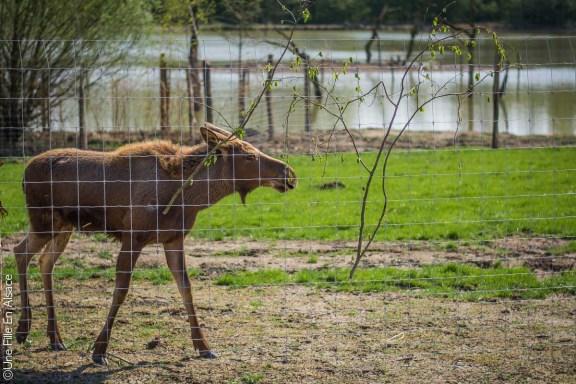 Elan au Parc de Sainte Croix - Photo Céline Schnell Une Fille En Alsace