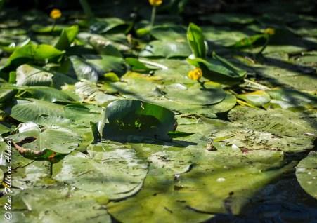 Nénuphar et grenouille île de Rhinau - Photo Céline Schnell Une Fille En Alsace