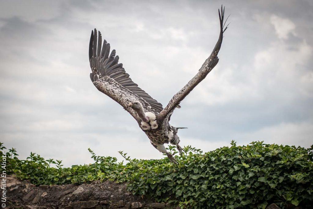 volerie-des-aigles-kintzheim©Celine-Schnell-Une-Fille-En-Alsace-2019-9