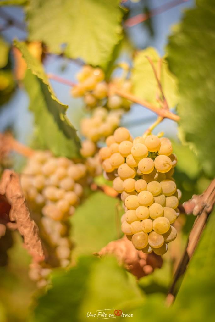 raisin-vignoble-scherwiller@Céline-Schnell-Une-Fille-En-Alsace-2020