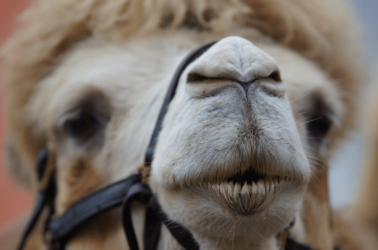Camel nose strong smell