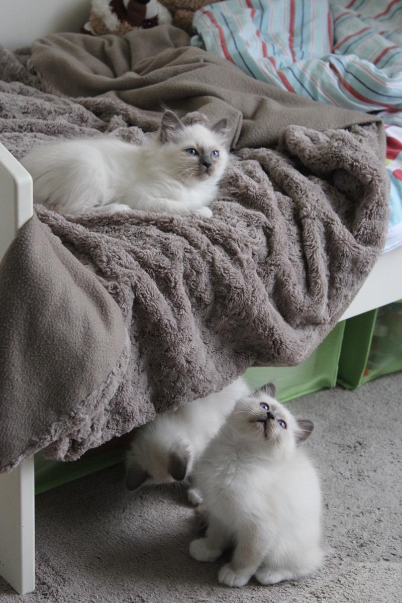 chatons-sacrés