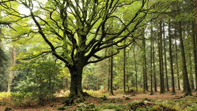 hêtre-forêt-brocéliande
