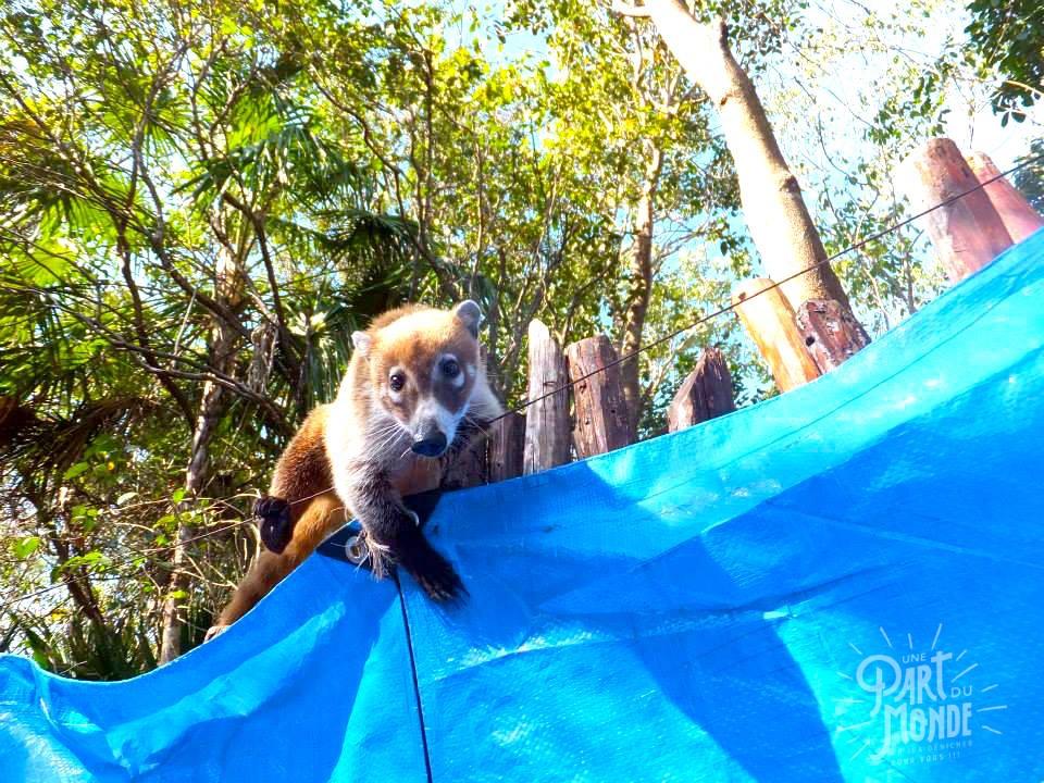 coatis-posada-los-mapaches