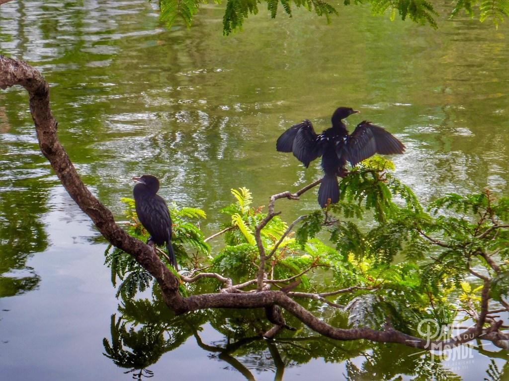 oiseaux-sri-lanka