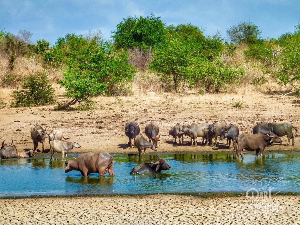 safari uda walawe buffles