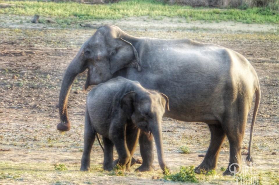Sri Lanka : Safari à Uda Walawe pour voir des éléphants