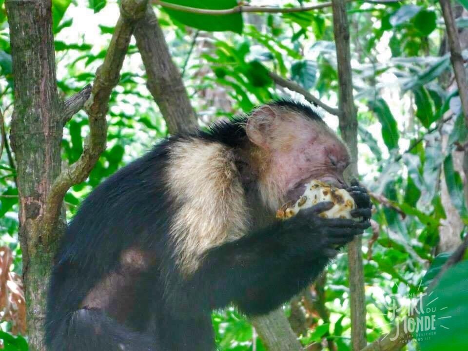cahuita parc national singe mange