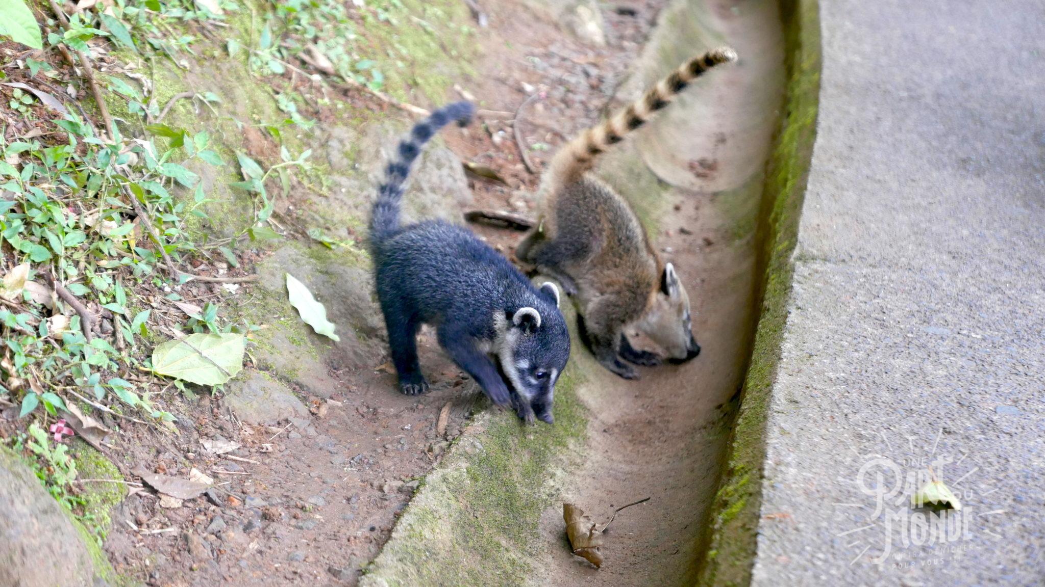 chutes d'iguazu côté brésilien bébé coatis 2