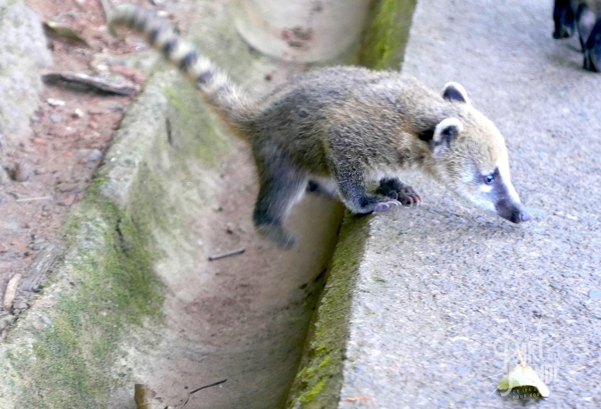 chutes d'iguazu côté brésilien bébé coatis marron