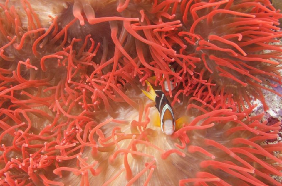 Poisson clown plongée nusa penida