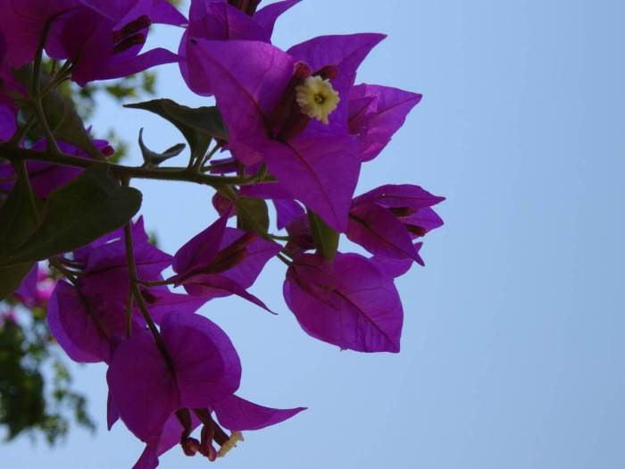 Paarse bloemenpracht met strakblauwe lucht in Agrigento