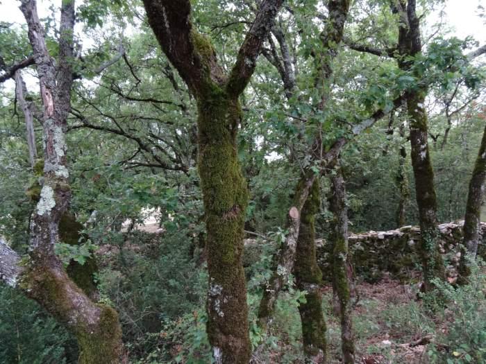 Wilderige bomen met mos en een laag muurtje