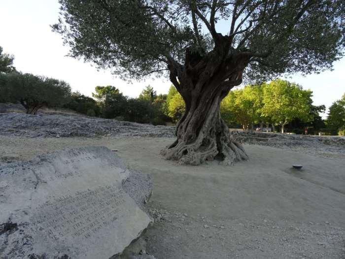 800 jaar oude olijfboom bij Pont du Gard