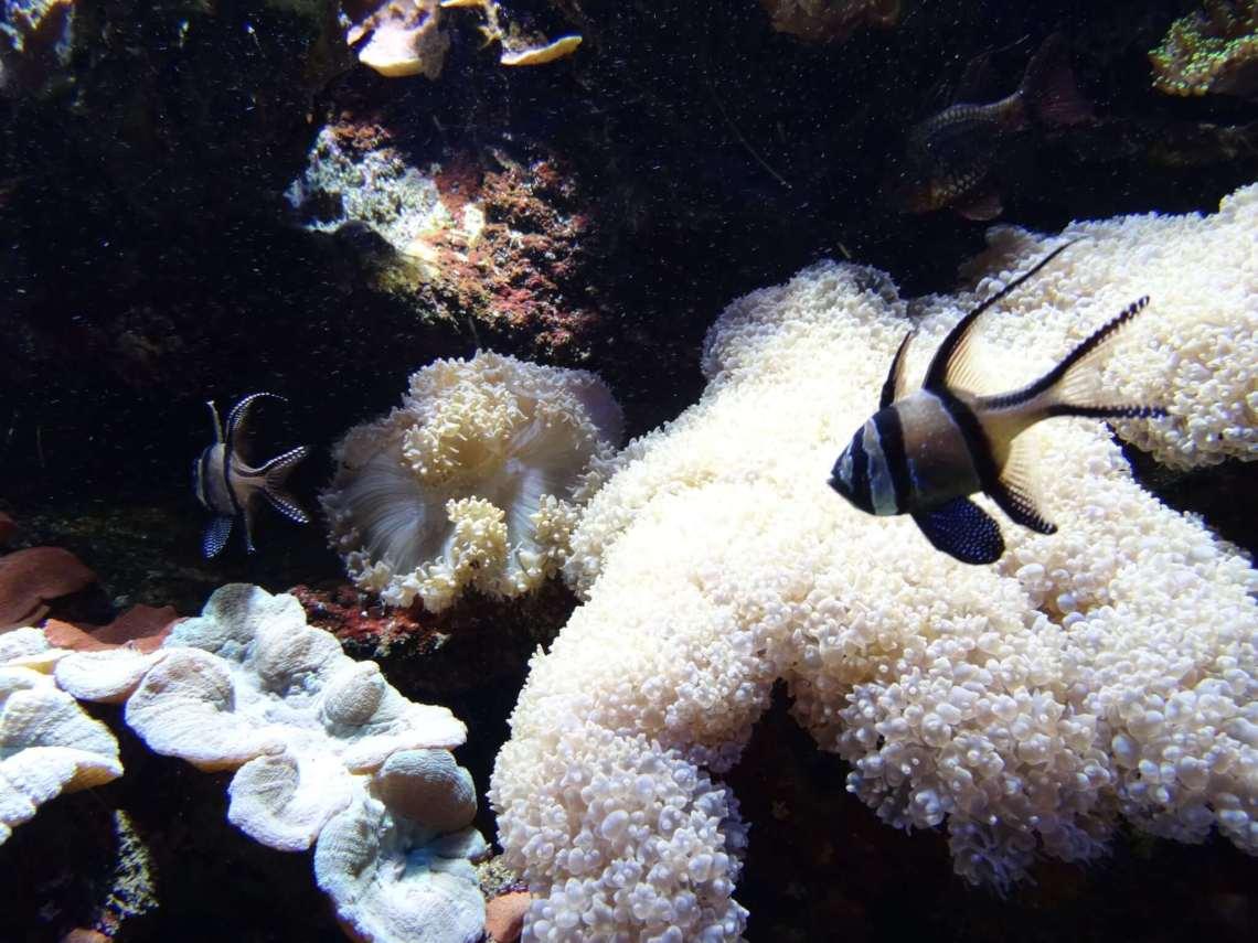 Zwarte vissen te midden van koraal