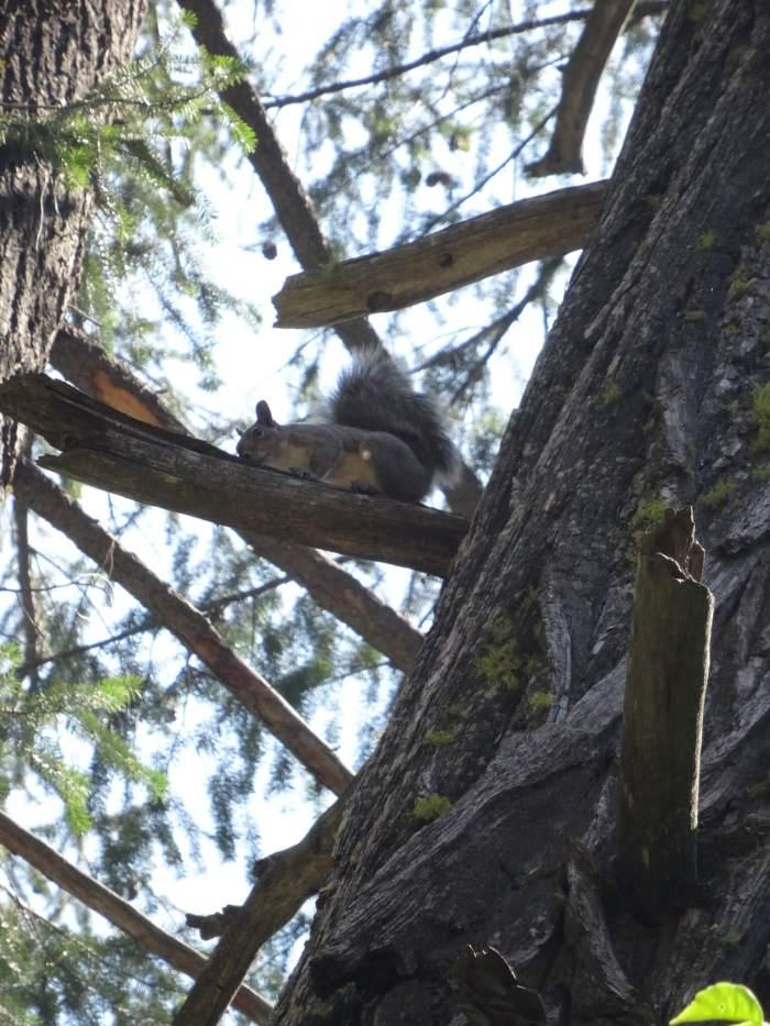 Eekhoorn in Yosemite NP