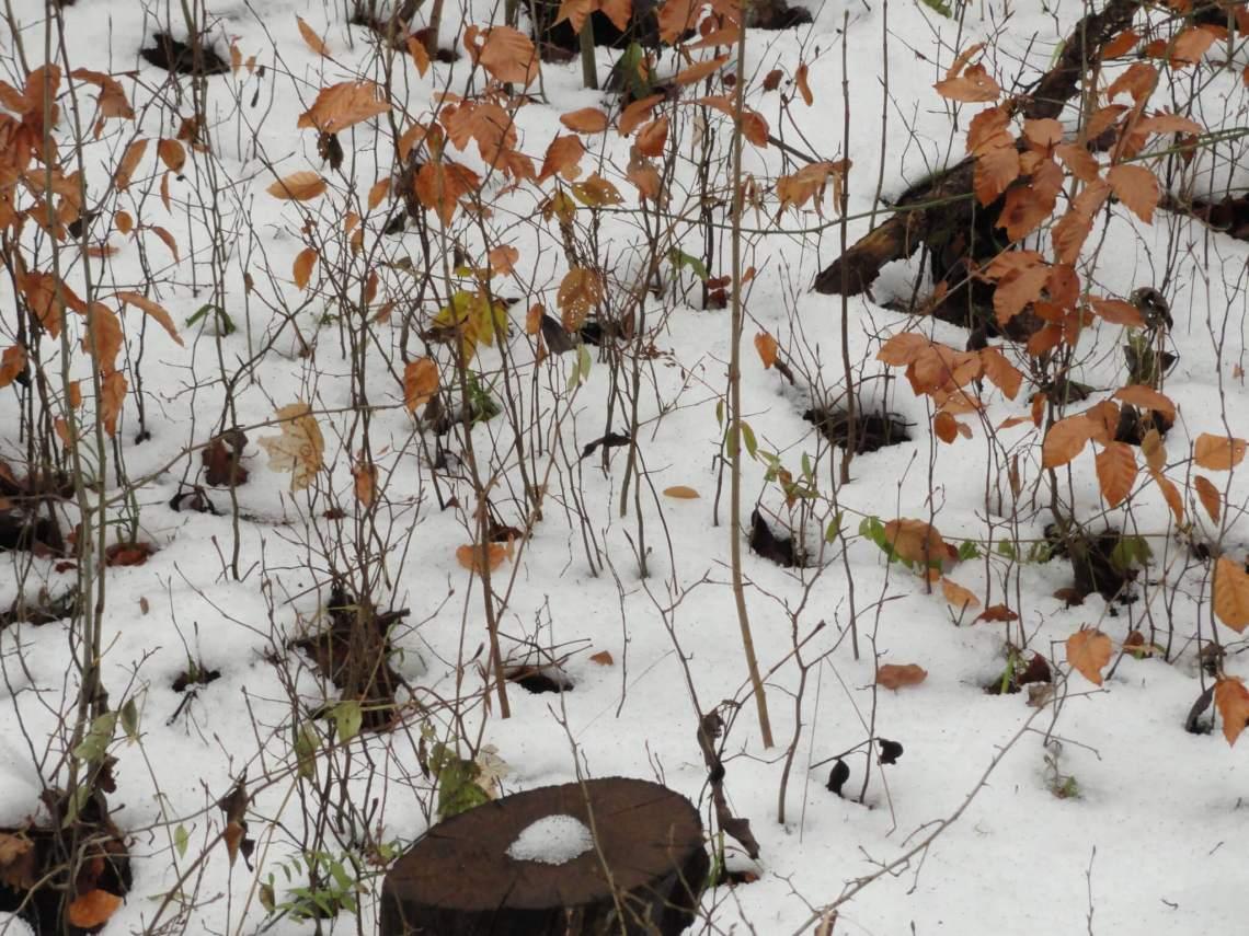 jonge beukesprietjes komen door de sneeuw heen