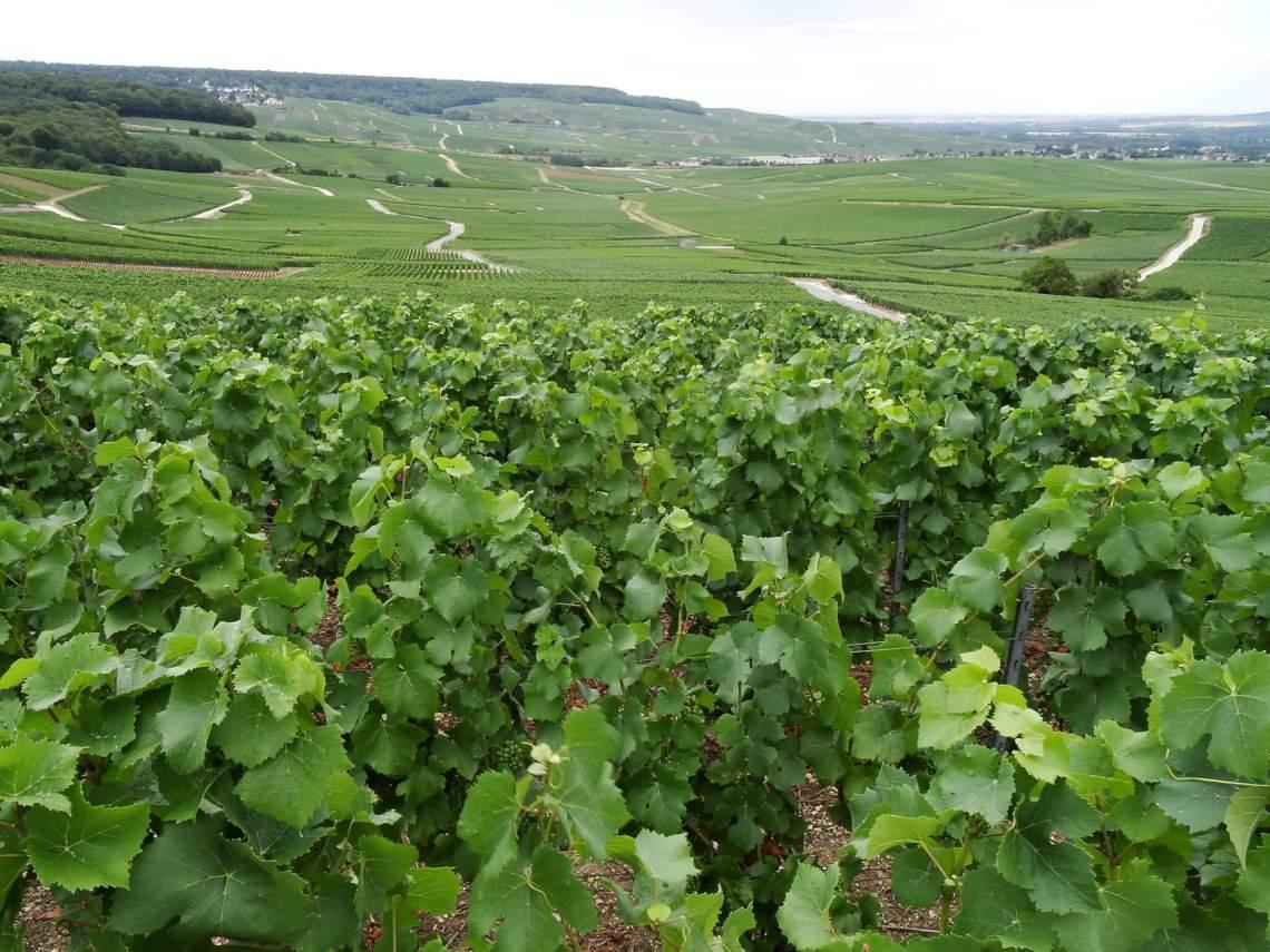 Tussen de wijnranken van de Champagnestreek