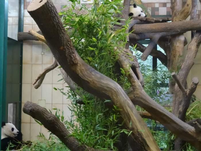 Reuzenpanda's in dierentuin Schönbrunn
