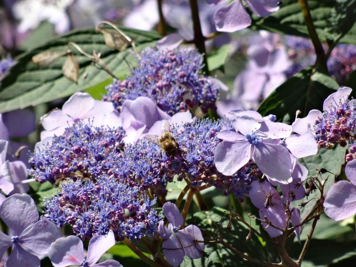 Paarse bloemen en een hommel in bergpark Wilhelmshöhe