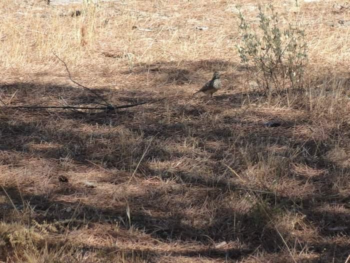 Vogel in dor grasland van natuurpark Doñana