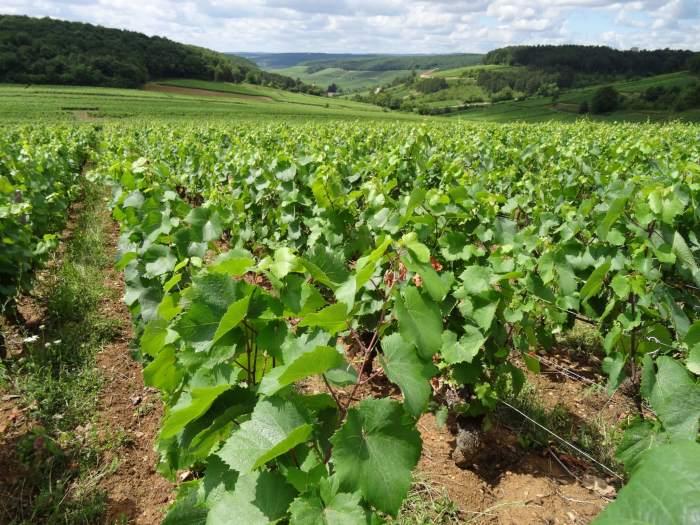 Heuvellandschap vol wijnranken
